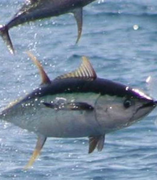 Yellowfin Tuna Fishing Spots